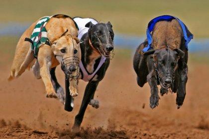 Greyhounds racing at a dog track